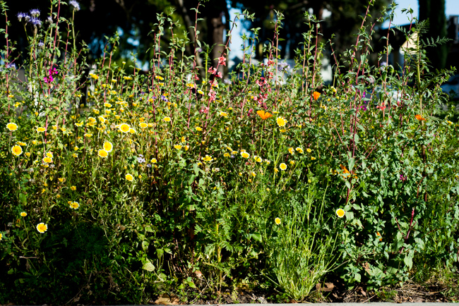 Wilflowering-LA-Roadside-Seed-Mix-Site-40-ryanbenoitphoto-thehorticult-RMB_9560