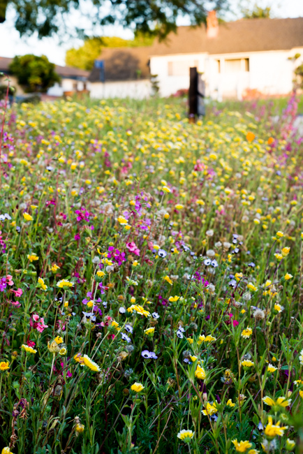 Wilflowering-LA-Site-28-Flatlands-Seed-Mix-ryanbenoitphoto-thehorticult-RMB_9727