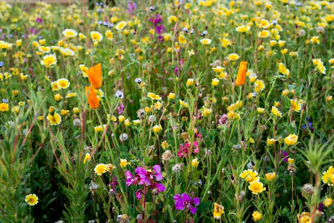 Site 28, Flatlands seed mix.  CALIFORNIA POPPY (ESCHSCHOLZIA CALIFORNICA)