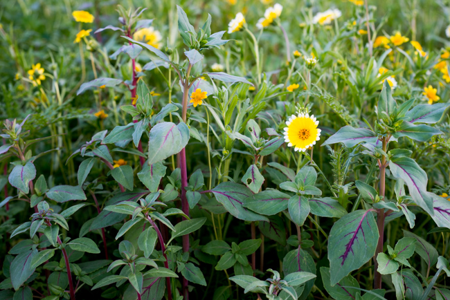 Wilflowering-LA-Site-42-Hillside-Seed-Mix-ryanbenoitphoto-thehorticult-RMB_9705