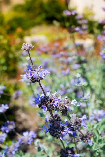 Cleveland sage (Salvia 'Pozo Blue')