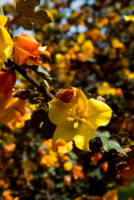 Fremontodendron californicum or Flannel bush