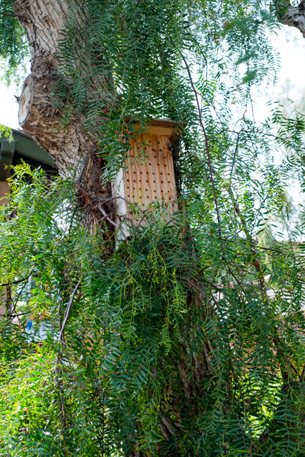 Carpenter bee hive and California pepper tree