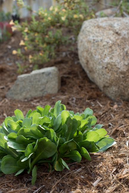 Grindelia stricta venulosa or prostrate gum plant