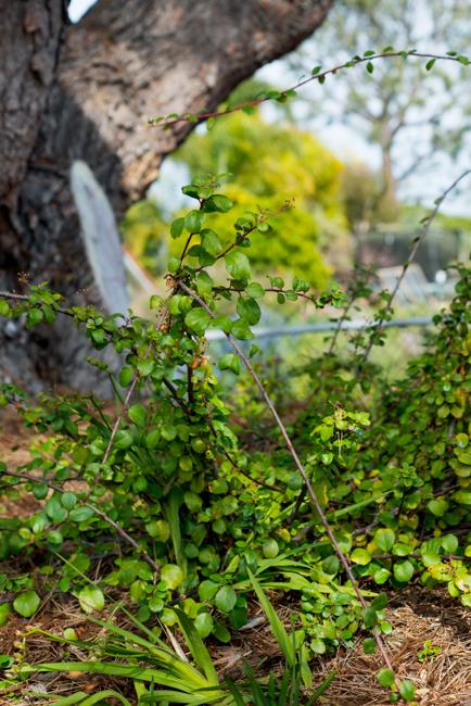 Catalina Island Currant (Ribes viburnifolium)