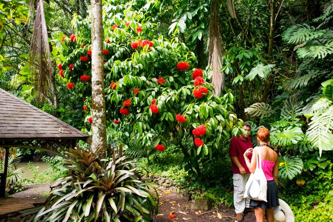 Ixora casei, from the Caroline Islands of Micronesia.