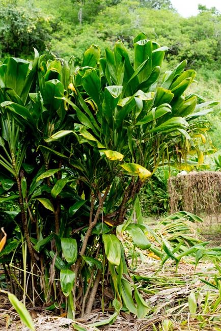 Olena or turmeric(Curcuma longa) used for making curry powder.