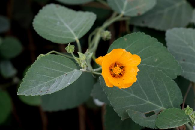 'Ilima flower. (Sida fallax)