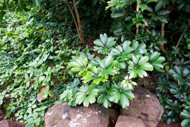 Schefflera arboricola 'Renate'