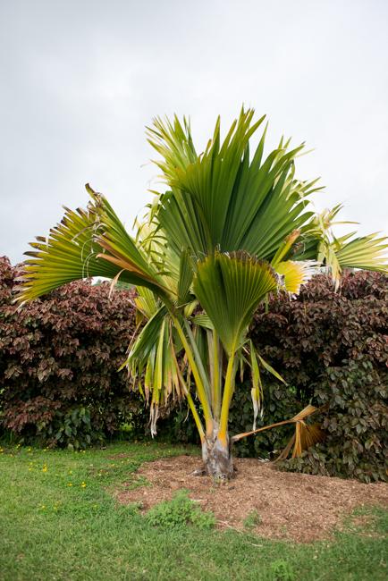 Lodoicea maldivica, double coconut