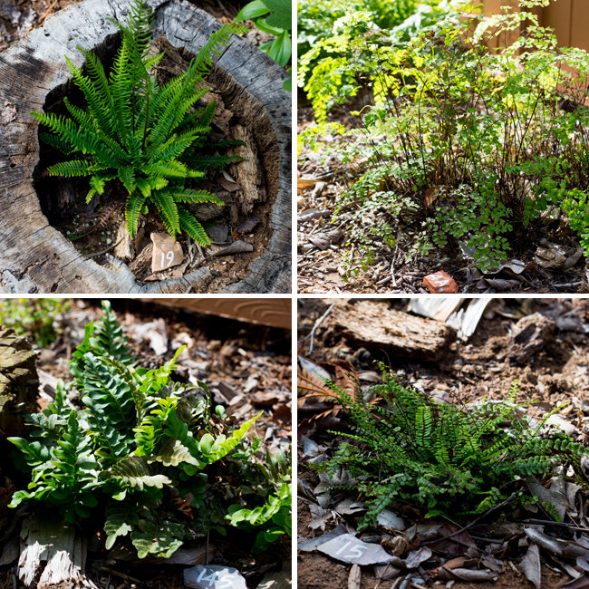 Deer fern (Blechnum spicant), maidenhair fern (Adiantum jordanii)