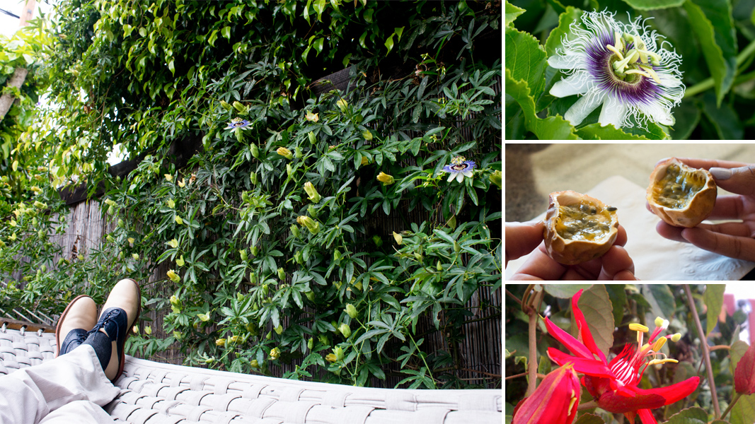 Social climber passion flowers are from the future the for Gardening is my passion