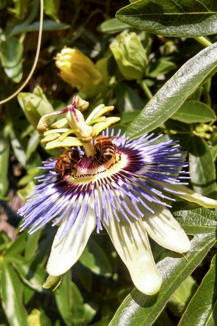 Passion-flower-passiflora-ryanbenoitphoto-thehorticult-2014-04-18 14.49.30