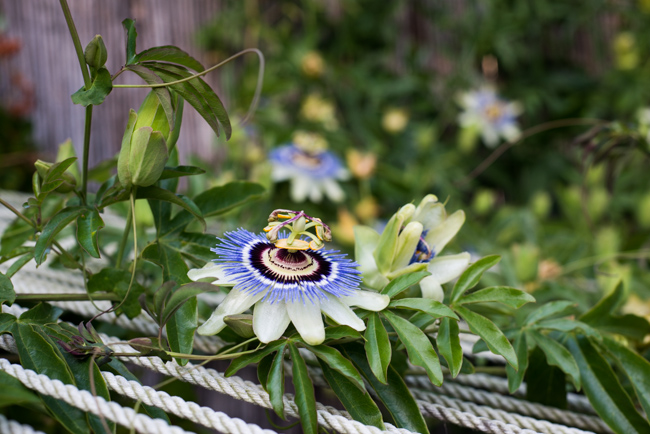 Passion-flower-passiflora-ryanbenoitphoto-thehorticult-RMB_0764