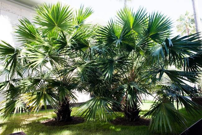 Cabbage-tree Palm (Livistona australis)