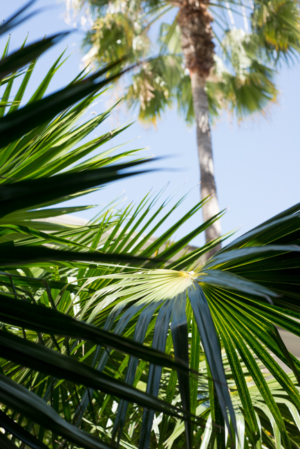 Cabbage-tree Palm (Livistona australis)