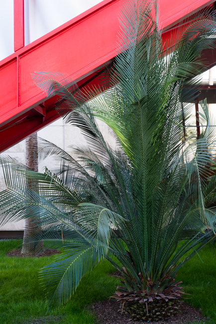 Lepidozamia peroffskyana is a palm-like cycad