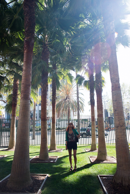 Mexican fan palm (Washintonia robusta)