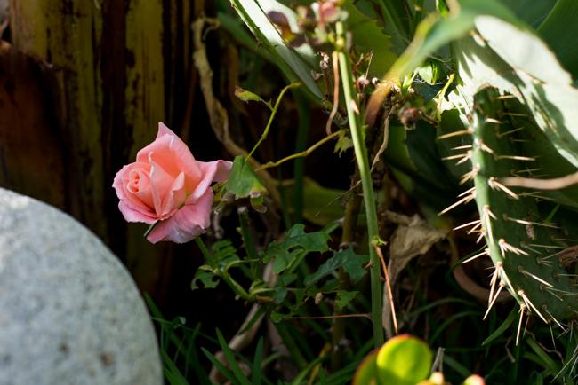 Rose and opuntia cactus.