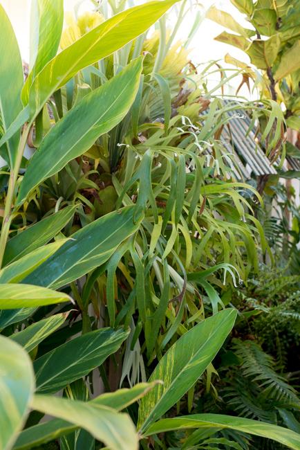 Ginger, staghorn fern and fiddle leaf fig.