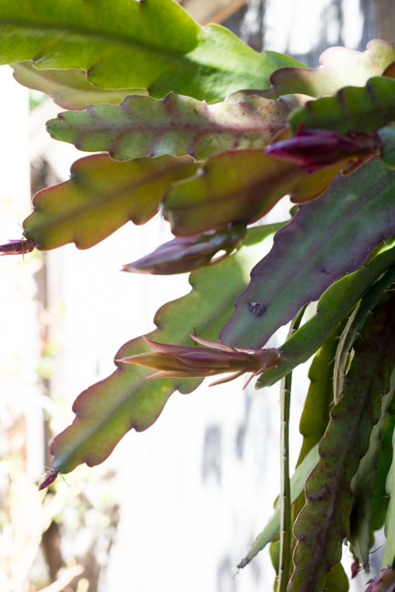 One month later, the buds are the epiphylllum are about two or three inches. Photo taken on April 6th.