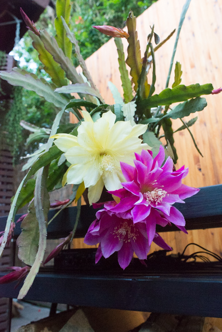 Opening Night Epiphyllum Cacti Their Flowers And The