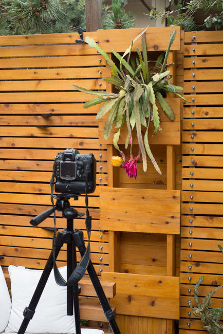 Epiphyllum-blooming-hanging-orchid-cactus-ryanbenoitphoto-thehorticult-RMB_2182