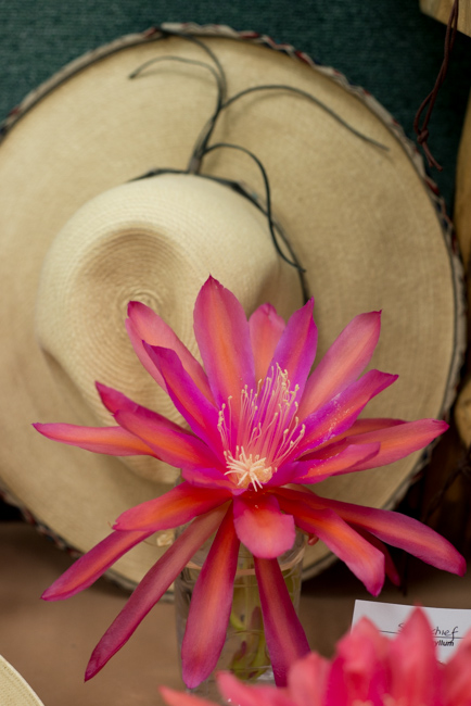 Epiphyllum-blooming-hanging-orchid-cactus-ryanbenoitphoto-thehorticult-RMB_2281