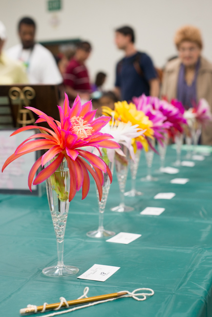 Epiphyllum-blooming-hanging-orchid-cactus-ryanbenoitphoto-thehorticult-RMB_2293