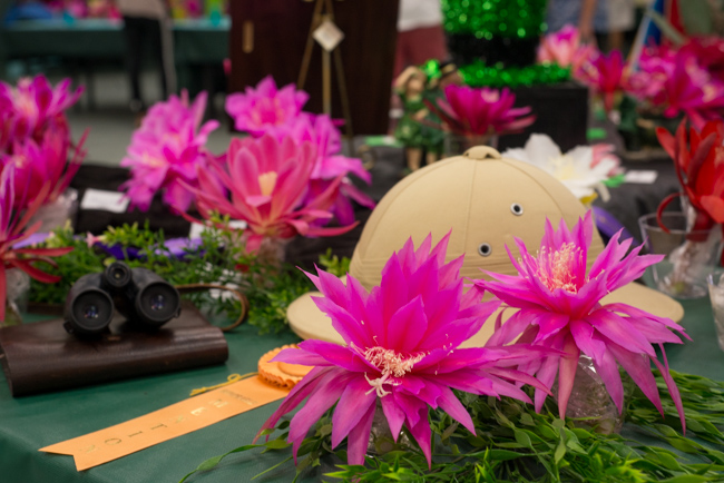 Epiphyllum-blooming-hanging-orchid-cactus-ryanbenoitphoto-thehorticult-RMB_2309