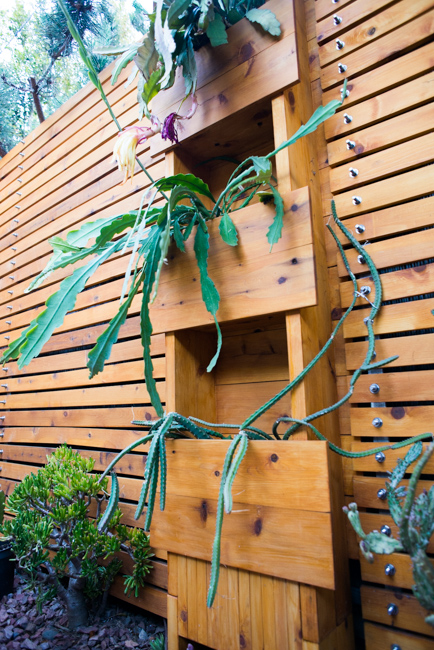 Epiphyllum-blooming-hanging-orchid-cactus-ryanbenoitphoto-thehorticult-RMB_2376