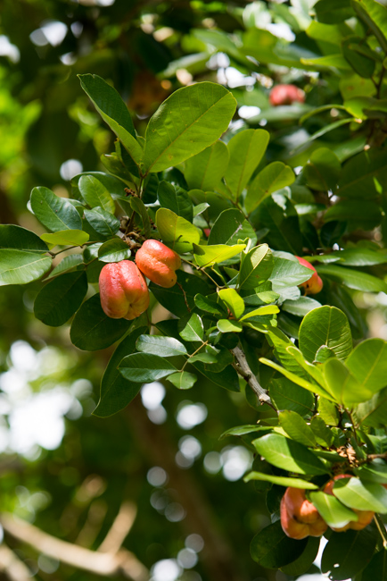 Akee (Blighia sapida), a close relative to the lychee, headlines Jamaica's national dish, ackee and saltfish.
