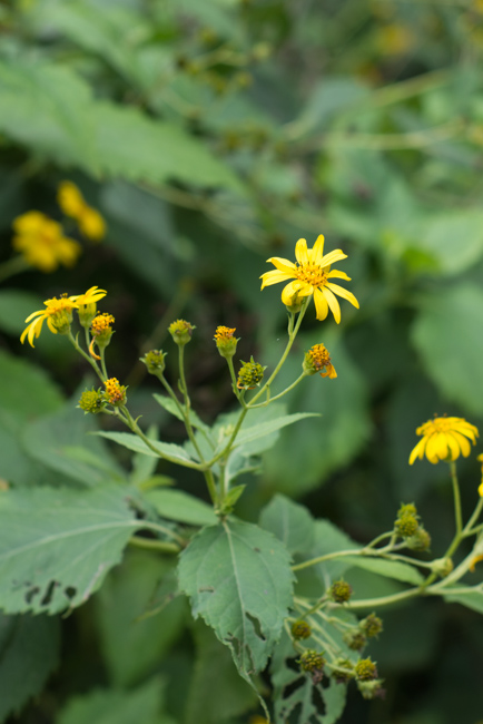 Melanthera integrifolia, nehe