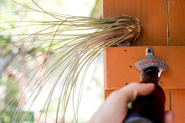 air plant and bottle opener