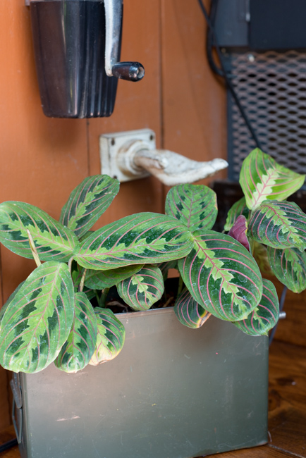 Prayer plant, from the Maranta genus.