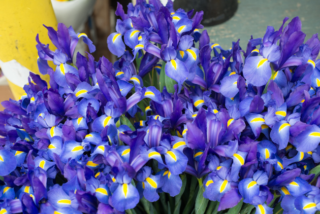 Dutch Iris, Iris x hollandica
