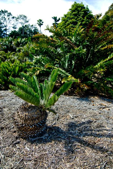 Encephalartos species.