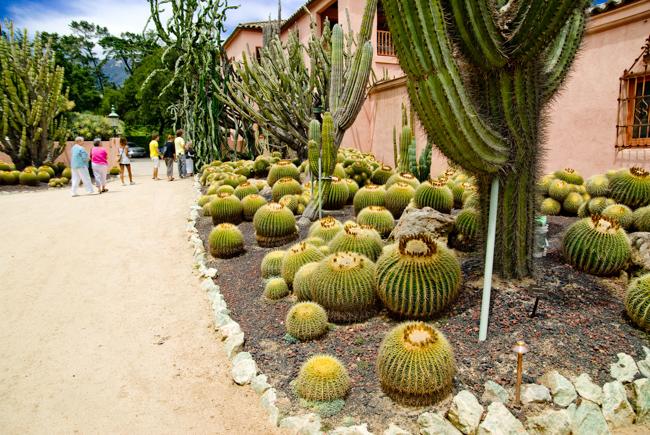 Golden Barrel cactus (Echinocactus grussonii)