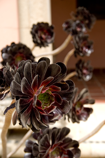 Black rose (Aeonium arboreum 'Zwartkop')