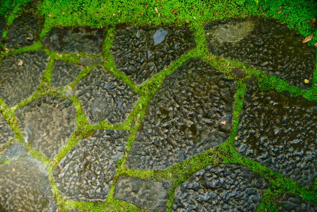 Baby tears mortar the stone path.