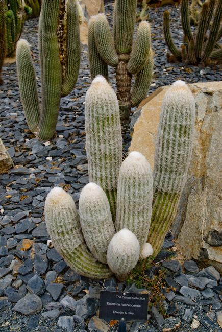Espostoa huanucoensis