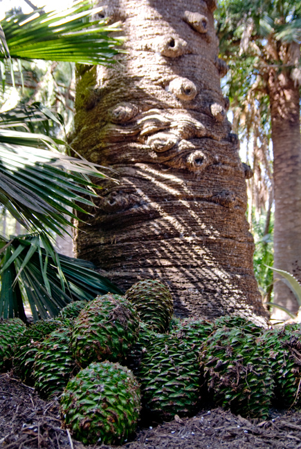 Bunya-Bunya Pine (Araucaria bidwillii)