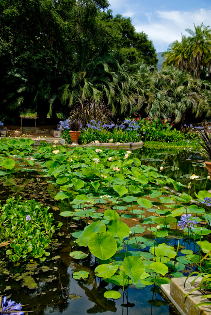 nelumbo-nucifera-lotus-indian-sacred-bean-of-india-lotusland-ganna-walska-DSC_0109-ryanbenoitphoto-for-thehorticult
