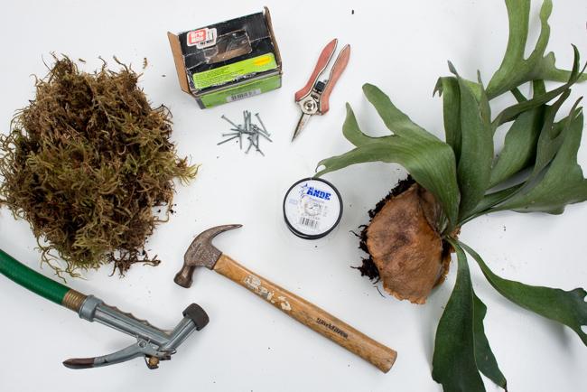Mounting Staghorn Ferns Platycerium