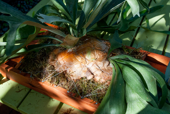 Mounting staghorn ferns (Platycerium)