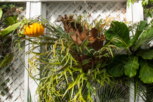 Elkhorn fern in hanging basket arrangement.