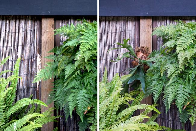 Mounting staghorn ferns (Platycerium)