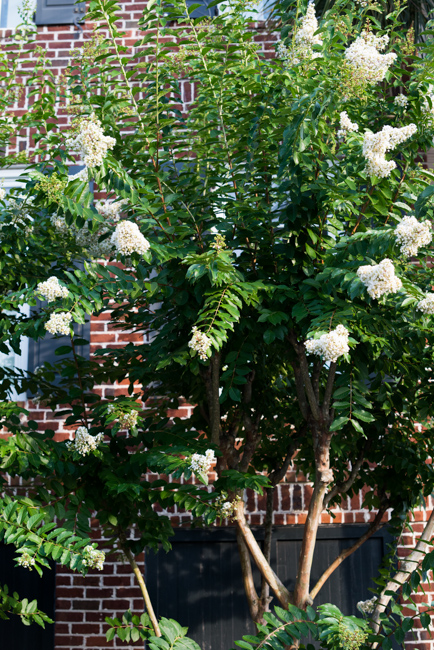 Crepe myrtles of Charleston South Carolina