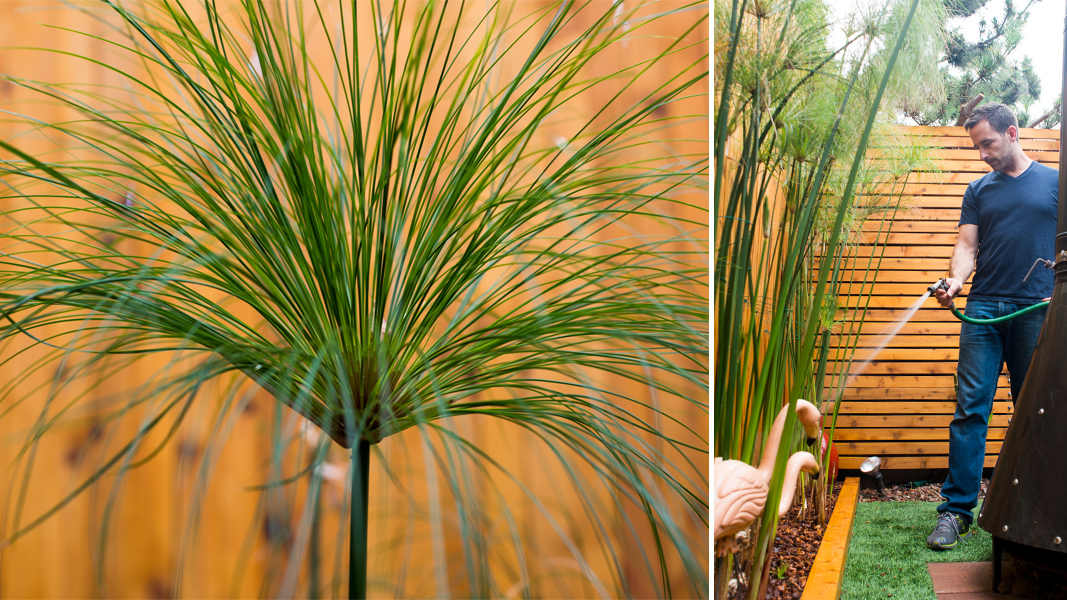 Cyperus papyrus-the-horticult-2