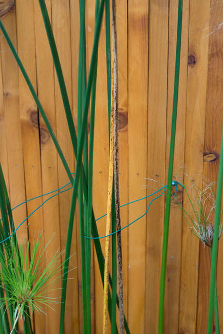 Cyperus papyrus-the-horticult-RMB_3671